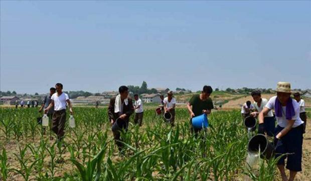 가뭄 피해 방지를 위해 동원된 북한 주민들이 밭에 물을 주고 있다.