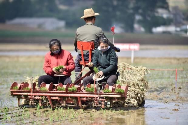 남포시 청산협동농장에서 농장원들이 모내기 작업을 하는 모습.