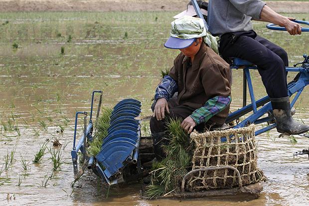 평안남도 원화 협동농장 농장원들이 논에서 모내기를 하고 있다.