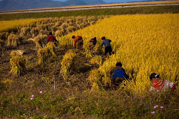 북한 농부들이 원산 인근의 논에서 벼를 수확하고 있다.
