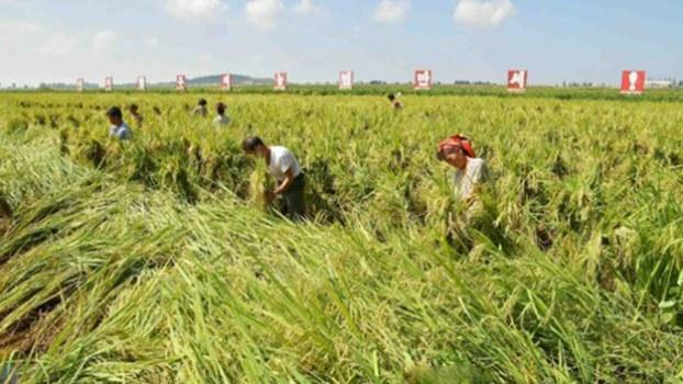 북한 주민들이 태풍 '링링'으로 인해 발생한 농작물 피해를 복구하고 있다.