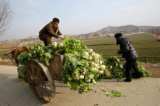 북한 주민들이 김장용 배추를 소 달구지에 싣고 있다.