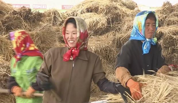 황해남도의 한 농촌에서 여성들이 수확한 볏단을 정리하고 있다.