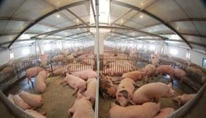 북한군 공군부대의 돼지 공장.