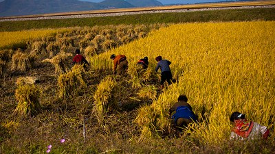 harvest_rice_nk_b