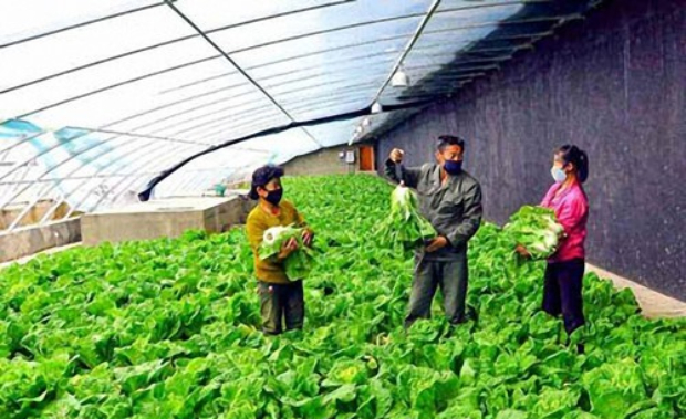 북한 삼지연시 남새온실농장에서 배추를 수확하는 모습.