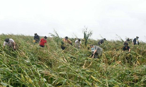 사진은 북한 황해남도 태풍 피해 현장에서 작업자들이 옥수수밭에서 강풍에 쓰러진 줄기들을 정돈하는 모습.