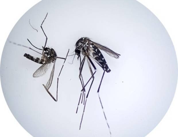 사진은 뎅기열, 지카바이러스, 치쿤구니야열 등 3개 질병을 확산시키는 것으로 알려진 '흰줄숲모기'.