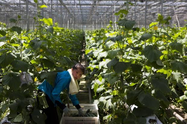 평양 외곽의 한 온실에서 여성이 채소를 가꾸고 있다.