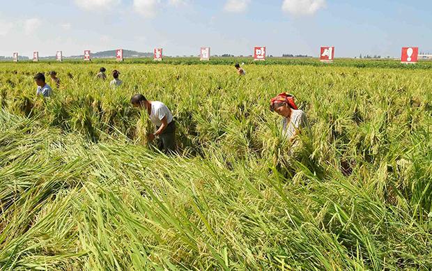 주민들이 태풍의 링링의 폭우로 피해를 입은 농경지에서 복구 작업을 하고 있다.