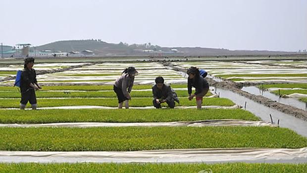 북한 황해북도 사리원시 미곡협동농장의 농업근로자들.