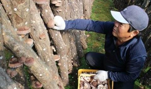 한 농민이 표고버섯을 정성스럽게 수확하고 있다.